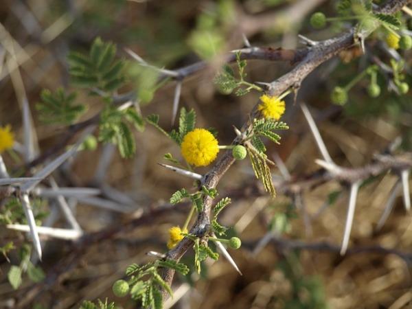 thorns-352256_640-2