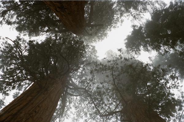 SequoiaGiants