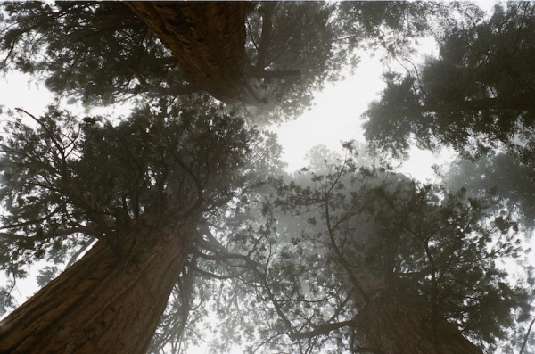 SequoiaGiants